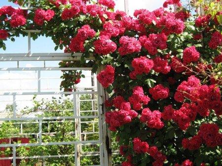 Красивые полиантовые розы